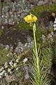 Lilium.pyrenaicum.7654.jpg