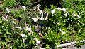 Lilium formosanum - UBC Botanical Garden - Vancouver, Canada - DSC07682.jpg