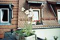 Lilium leucanthum (01).jpg