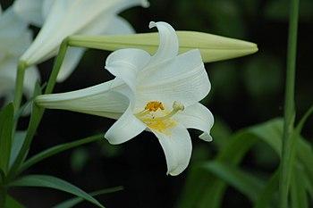 Easter Lily (Lilium longiflorum var. longiflorum)