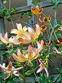 Lilium martagon cultivars.jpg