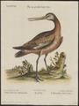 Limosa fedoa - 1700-1880 - Print - Iconographia Zoologica - Special Collections University of Amsterdam - UBA01 IZ17400033.tif