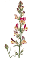 Linaria reticulata detail SmSo.png