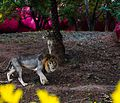 LionWalks.jpg