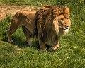 Lion (211544223).jpeg