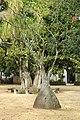 Lisbon, Jardim Botânico da Ajuda, elephant's foot (Beaucarnea recurvata).JPG