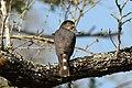 Little sparrowhawk (Accipiter minullus) 02.jpg