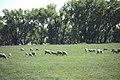 Livestock22.tif (24009730097).jpg