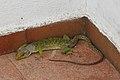 Lizard (3705037760).jpg