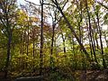 Loantaka Way NJ woods with leaning tree early autumn.JPG
