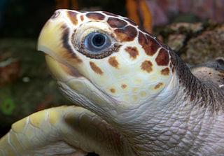 Loggerhead sea turtle policies of the Barack Obama Administration (2009-2017)