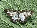Lomaspilis marginata - Clouded border - Пяденица окаймленная (39117245330).jpg