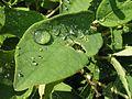 Lonicera caerulea20110611 124.jpg
