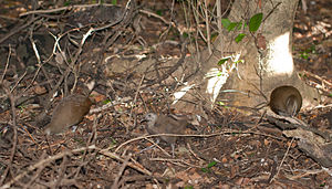 Lord Howe woodhen - A pair of woodhens with a chick