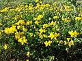 Lotus corniculatus var. corniculatus s. lat. sl9.jpg