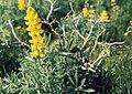 Lupinus luteus and Solanum sodomaeum, Kenitra (37497782900).jpg