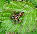 Lycosidae. Male. (Pardosa nigriceps^^) - Flickr - gailhampshire.jpg