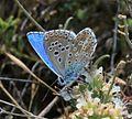 Lysandra bellargus (Niña Celeste) - Flickr - S. Rae (4).jpg