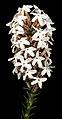 Lysinema pentapetalum - Flickr - Kevin Thiele (1).jpg