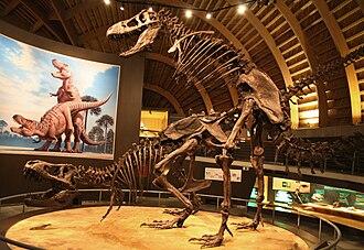 Exhibit design - Tyrannosaurus fossil exhibit in Jurassic Museum of Asturias, Spain.