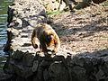 Macaco-prego-galego.JPG