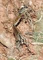 Machiremisca decipiens 05.jpg
