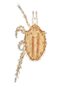 Macrocheles carinatus by Oudemans.png