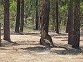 Macropus fuliginosus (26137025368).jpg