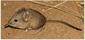 Macroscelides proboscideus proboscideus.tif