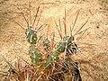 Maihueniopsis darwinii 01 ies.jpg