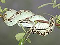 Malabar Pit Viper, Agumbe, Vimal Rajyaguru, 01.jpg