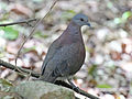 Malagasy Turtle Dove RWD3.jpg