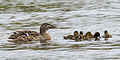 Mallard and ducklings, Fairlands Valley Park, Stevenage.jpg
