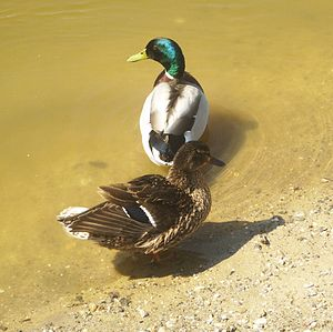 English: Pair of Mallard ducks, Berounka, Czec...