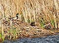 Mallards on Seedskadee National Wildlife Refuge (27176737721).jpg