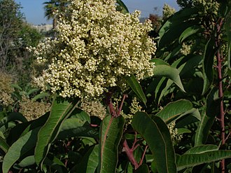 Malosma - Malosma laurina in bloom. The bumblebee on the right side of the flower cluster (and near its middle) sets the scale of the photograph.