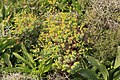 Malta - Marsaxlokk - Triq Delimara - Xrobb L-Ghagin - Euphorbia pinea 06 ies.jpg