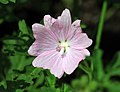 Malva moschata Prague 2011 2.jpg