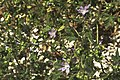 Malva silvestris-2733.jpg