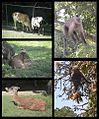 Mamiferos del Zoologico de Caricuao Caracas - Venezuela 2.jpg