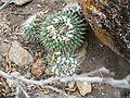 Mammillaria compressa (5706848294).jpg