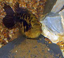 A substrate brooding female managuense cichlid, Parachromis managuense, guards a clutch of eggs in the aquarium.