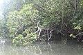 Mangroves of San Juan, Batangas 3.jpg
