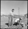 Manzanar Relocation Center, Manzanar, California. Evacuees of Japanese ancestry are growing flouris . . . - NARA - 537975.tif