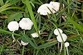 Marasmiellus.vaillantii.-.lindsey.jpg