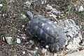 Marginated Tortoise - Flickr - GregTheBusker (2).jpg