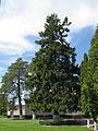 Markivci-Tree-1.jpg