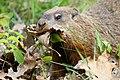 Marmota monax UL 07.jpg