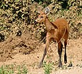 Marsh Deer (Blastocerus dichotomus) doe on the road ... (31676196045).jpg