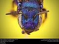 Mason Bee or Blueberry Bee (Megachilidae, Osmia sp.) (33191836842).jpg